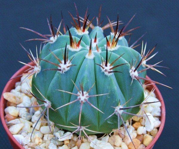 """Melocactus pachyacantus exotic @@ cacti plant cactus 4"""""""