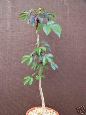 Jatropha gossypiifolia rare succulent plant cacti 8 pot