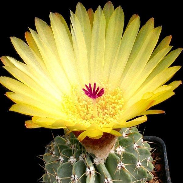 """Parodia buiningii notocactus rare plant cacti cactus 4"""""""