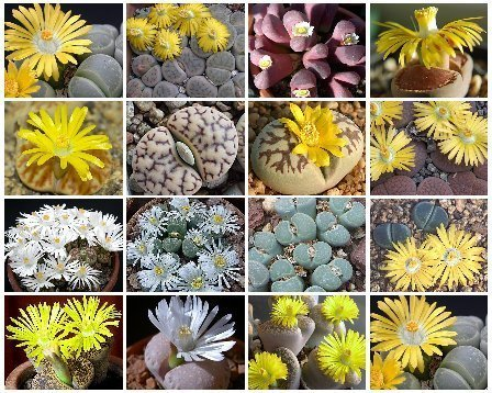 Lithops MIX succulent cacti living stone seed 100 SEEDS