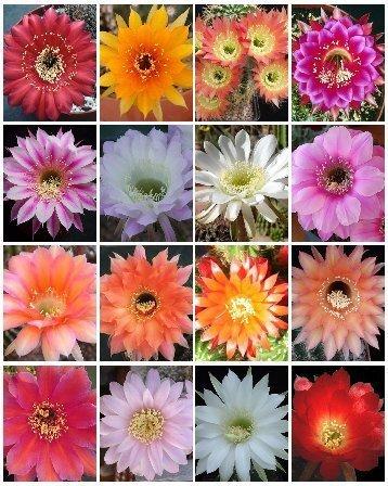 ECHINOPSIS variety mix cacti cacti shick seed 100 SEEDS
