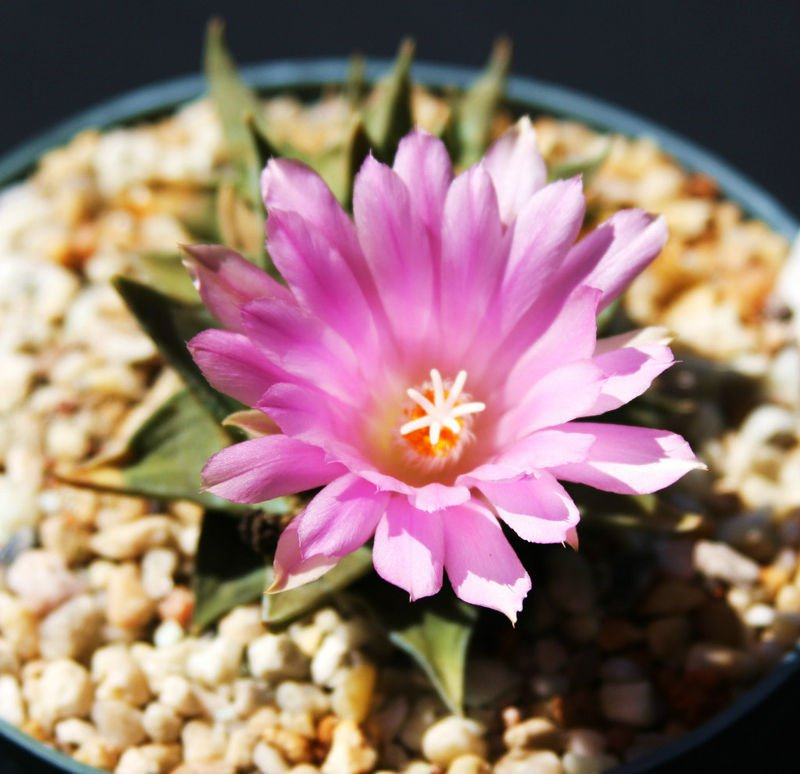 Ariocarpus trigonus cactus rare cacti seed 10 SEEDS