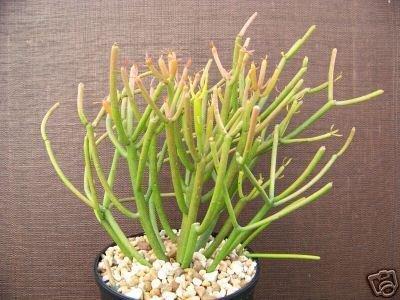 EUPHORBIA TIRUCALLI @ pencil cactus plant succulent 1g