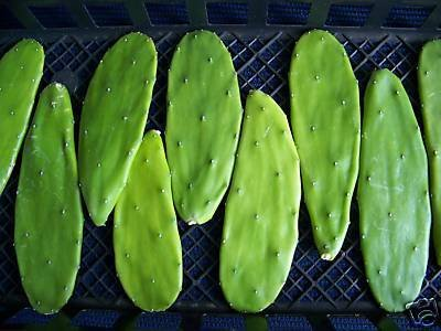 Opuntia grafting stock cactus grafted cacti 20 cuttings