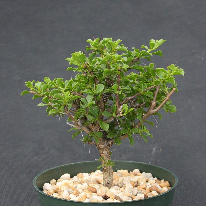"""Pereskia portulacifolia, specimen cacti plant cactus 6"""""""
