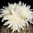 """Discocactus araneispinus rare cacti cactus plant 4"""" pot"""