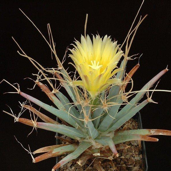 """LEUCHTENBERGIA PRINCIPIS rare plant cacti cactus 4"""" pot"""