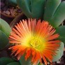 Cheiridopsis pillansii rare mesembs cacti seed 50 SEEDS