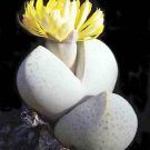 Dinteranthus wilmotianus @ mesembs cacti seed 100 SEEDS