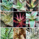 ALOE HYBRID MIXED exotic cultivar color cacti rare cactus aloes seed 100 SEEDS
