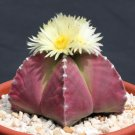 Astrophytum myriostigma PURPLE nudun cacti rare color cactus seed 100 SEEDS