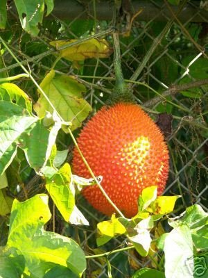 GAC @ Momordica cochinchinensis fruit rare seed 2 SEEDS