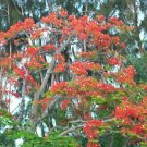 Royal Poinciana Delonix exotic seed 10 seeds red flower