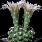 Gymnocalycium colochlorum @J@ rare cactus seed 20 SEEDS