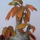 Dorstenia Foetida, rare succulents cactus seed 10 SEEDS