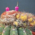 Melocactus Oreas VARIEGATED @J@  montrose cacti rare exotic cactus seed 50 SEEDS