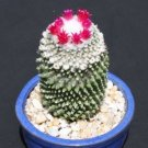 """Mammillaria polythele inermis nudun cactus exotic flowering  rare cacti plant 4"""""""
