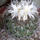 Discocactus bahiensis @@ night blooming cacti rare fragance cactus seed 15 SEEDS