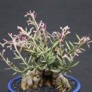 Monadenium rubellum, caudex  bonsai cactus seed 5 seeds