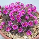 Mammillaria mazatlanensis @J@ rare cactus seed 20 SEEDS