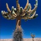 Browningia candelaris,@ cacti rare cactus seed 20 SEEDS