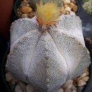 Astrophytum Multicostatum ONZUKA 6 ribs rare japan v cultivar cactus 50 SEEDS