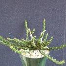"""Euphorbia petricola @ rare africa succulent hangin cacti african plant cactus 4"""""""