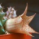 HUERNIA LONGITUBA rare asclepiad star flower exotic flowering cacti seed 5 seeds