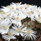 Lithops karasmontana, living stone cactus seed 15 SEEDS