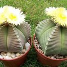Astrophytum myriostigma KIKO nudum rare japan hybrid cactus plant cacti 50 SEEDS