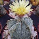 Astrophytum cohauilense rare hybrid japanese cactus flower cacti seed 50 SEEDS