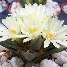 Ariocarpus trigonus @J@ living rock stone plant rare cactus cacti seed 50 SEEDS