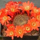 Rebutia wessneriana @@ exotic rare cactus seed 20 SEEDS