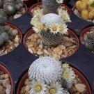 Pelecyphora Pectinifera rare cacti mammillaria 10 SEEDS