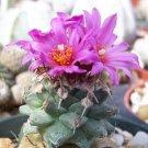 Turbinicarpus alonsoi,@ cacti rare cactus seed 10 SEEDS