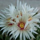 Obregonia denegrii  antichoke plant exotic slow grow rare cactus seed 15 SEEDS