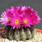 Parodia uebelmanniana @J@  notocactus rare flowering cactus cacti seed100 SEEDS
