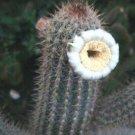 Pilosocereus gounellei rare columnar cacti flowering cactus aloe seed 100 SEEDS