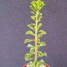 """Pereskia portulacifolia @  rare cacti plant natural bonsai caudex cactus aloe 4"""""""