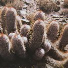 Oreocereus trolli rare columnar cacti outdoor garden cactus tall seed 100 SEEDS