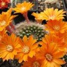Rebutia flavistyla exotic flowering cacti rare clustering cactus seed 100 SEEDS