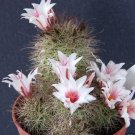 Mammillaria Fraileana @J@ exotic rare flowering pincushion cactus seed 100 SEEDS