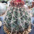 Melocactus Curvispinus @@ turk's cap flowering  cacti rare cactus seed 100 SEEDS
