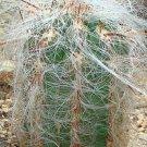 Oreocereus celsianus rare columnar cacti flowering flower cactus seed 100 SEEDS
