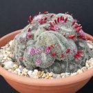Mammillaria perbella rare flower cacti pincushion globular cactus  seed 15 SEEDS