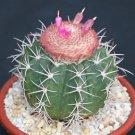 Melocactus peruvianus minima @@ exotic globular cacti rare cactus seed 100 SEEDS