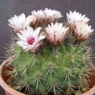 Gymnocalycium pflanzii, rare exotic flower cactus seed flowering cacti 100 SEEDS