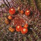 Ferocactus pringlei @ exotic globular flowering cacti rare cactus seed 100 SEEDS