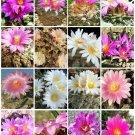 Ariocarpus variety mix, living rock stone plant rare cactus seed cacti 50 SEEDS