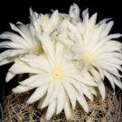 Discocactus araneispinus, semi cacti rare seed 15 SEEDS